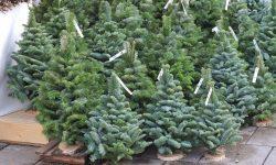 Kerstbomen-zonder-kluit