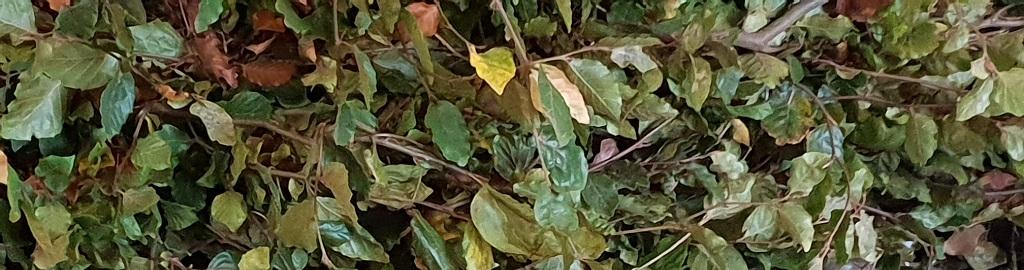 Haagplanten beukenhaag