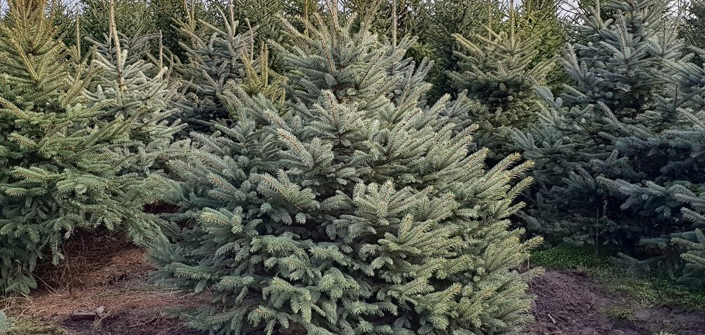 Brandvertragende Nordmann kerstbomen in Best verkrijgbaar