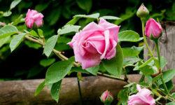 Wat weet jij over rozen